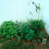 Photo Thumbnail #6: Side herb garden August/July