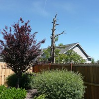 Photo Thumbnail #20: Flowering plum tree with snag tree in background.