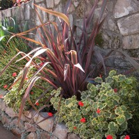 Photo Thumbnail #9: O la la!!!  Phormium 'Guardsman, Geranium...