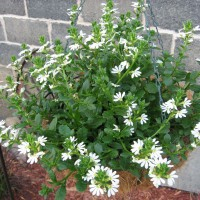 Photo Thumbnail #16: Surdiva White (Scaevola)
