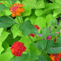 Photo Thumbnail #13: Sweet potato vine, lantana and petunia.