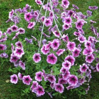 Photo Thumbnail #18: Hanging petunia