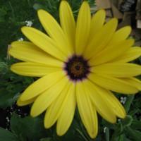 Photo Thumbnail #17: African daisy