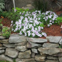 Photo Thumbnail #25: Petunias
