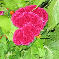 Photo Thumbnail #4: Cockscomb or Celosia