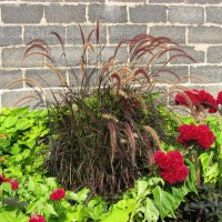 Photo Thumbnail #3: Purple Fountain Grass, cockscomb, sweet potato...