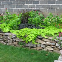 Photo Thumbnail #1: Black & green sweet potato vine, cockscomb,...