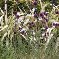 Photo Thumbnail #6: Close up of Phormium 'Cream Delight' with...