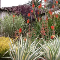 Photo Thumbnail #2: Kniphofia uvaria above Iris pallida 