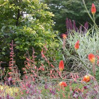 Photo Thumbnail #3: Kniphofia with Agastache 'Apricot Sunrise',...