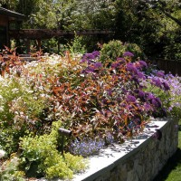 Photo Thumbnail #6: Main terrace planting bed with Trachelium...