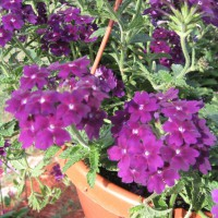 Photo Thumbnail #16: Purple verbena