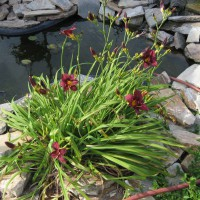 Photo Thumbnail #18: Plum Perfect Daylily