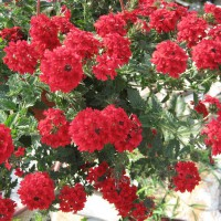 Photo Thumbnail #19: Red Verbena