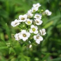Photo Thumbnail #14: Tiny wildflowers.