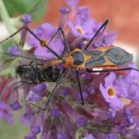 Photo Thumbnail #4: Assassin bug dining on a fly. Good bug!