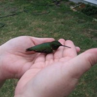Photo Thumbnail #6: Dazed male ruby throated hummingbird. He's OK.