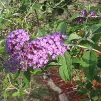 Photo Thumbnail #21: Butterfly bush