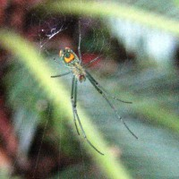Photo Thumbnail #22: Orchard spider