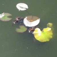 Photo Thumbnail #7: Two pair of American toads.