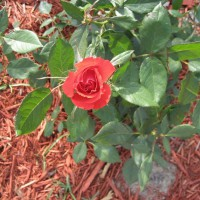 Photo Thumbnail #13: Beautiful rose.
