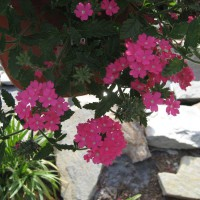 Photo Thumbnail #20: Pink Verbena
