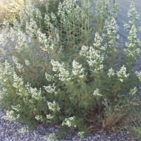 Photo Thumbnail #4: Native plant - Fernbush