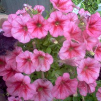 Photo Thumbnail #2: SuperPetunia