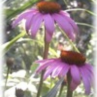 Photo Thumbnail #18: Purple Cone Flower