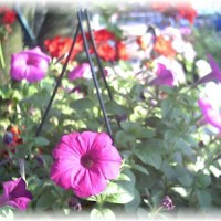Photo Thumbnail #29: Hanging Baskets
