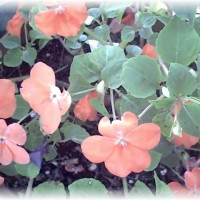 Photo Thumbnail #28: Impatiens