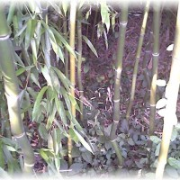 Photo Thumbnail #25: Bambu