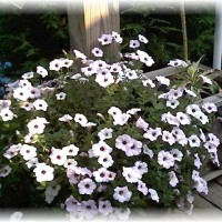 Photo Thumbnail #19: Super Petunia