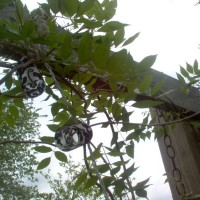 Photo Thumbnail #3: Wisteria