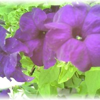 Photo Thumbnail #27: This color Petunia Smells Wonderful