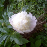 Photo Thumbnail #8: Peonies