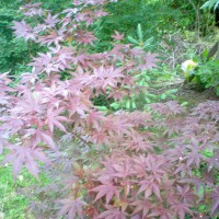 Photo Thumbnail #6: Japanese Maple