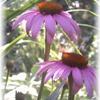 Photo Thumbnail #22: Purple Cone Flower