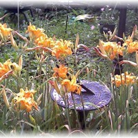 Photo Thumbnail #26: Daylilies