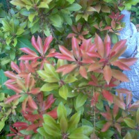 Photo Thumbnail #4: Japanese Pieris