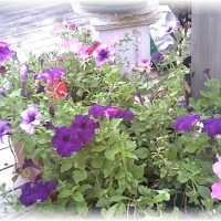 Photo Thumbnail #20: Crazy Petunias