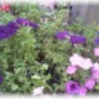 Photo Thumbnail #23: I love Petunias