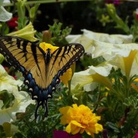 Photo Thumbnail #2: Giant Swallowtail