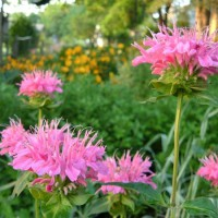 Photo Thumbnail #11: Monarda