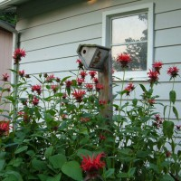 Photo Thumbnail #12: Monarda
