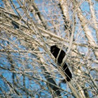 Photo Thumbnail #10: We are lucky to have black squirrels!
