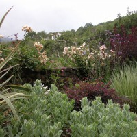 Photo Thumbnail #4: Rose 'Cornelia', Cotinus, Loropetalum,...