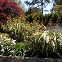 Photo Thumbnail #4: Planting has Phormium 'Tricolor', roses,...