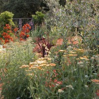 Photo Thumbnail #11: Plantings with Olive 'Swan Hill', Achillea...