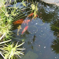 Photo Thumbnail #6: Koi in large pond.